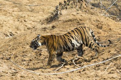 Bengal tiger (Panthera tigris tigris), Bandhavgarh National Park, Madhya Pradesh, India, Asia