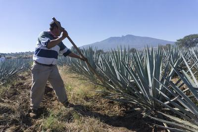 Tequila is made from the blue agave plant in the state of Jalisco and mostly around the city of Teq