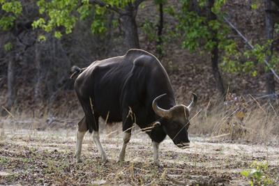 An Indian bison (bos gaurus bandhavgarh) walking, Bandhavgarh National Park, Madhya Pradesh, India,