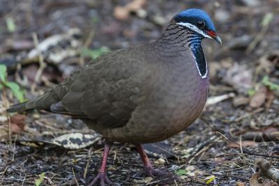 An adult blue-headed quail-dove (Starnoenas cyanocephala), Zapata National Park, endemic to Cuba, C