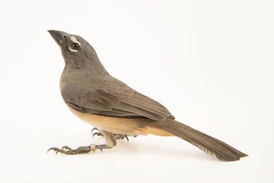 Greyish saltator, Saltator coerulescens