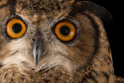 Northern eagle owl, Bubo bubo tenuipes, the Budapest Zoo.