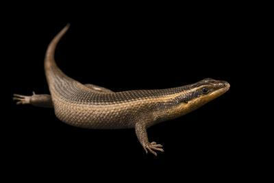 African striped skink, Trachylepis striata, at the Houston Zoo.