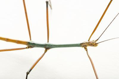 Walking stick, Lopaphus species, at the Budapest Zoo.