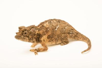 Northern leaf chameleon, Brookesia ebenaui, from a private collection.
