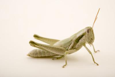 Cudweed grasshopper or mugwort grasshopper, Hypochlora alba