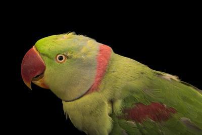 Alexandrine parakeet, Psittacula eupatria siamensis