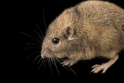 Silky pocket mouse, Perognathus flavus