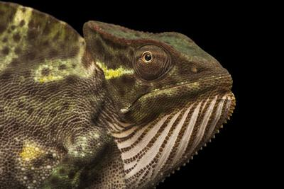 A female Usambara three horned chameleon from a private collection.