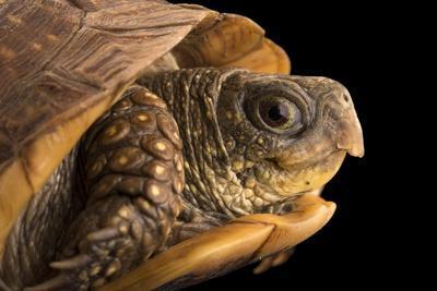 Northern spotted box turtle, Terrapene nelsoni klauberi