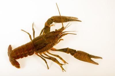 Deceitful crayfish, Procambarus fallax, collected at Beecher Springs Run