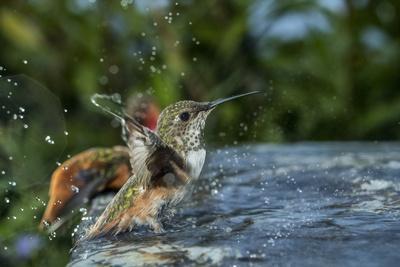 A hummingbird in a bird bath.