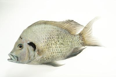 An endangered Nosy Be cichlid, Ptychochromis oligacanthus