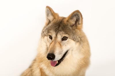 Himalayan wolf, Canis lupus himalayensis