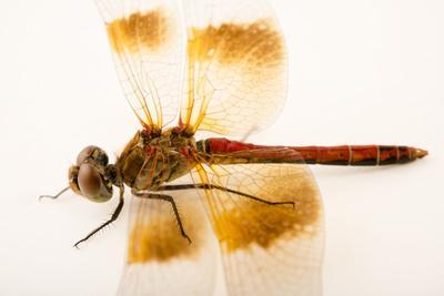 Skimmer dragonfly, Sympetrum occidentale