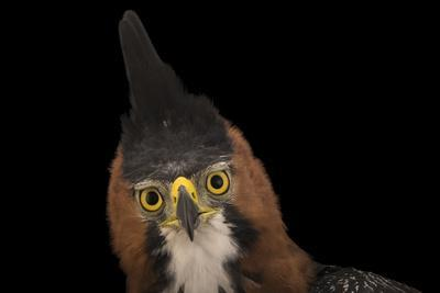 An ornate hawk eagle, Spizaetus ornatus vicarious