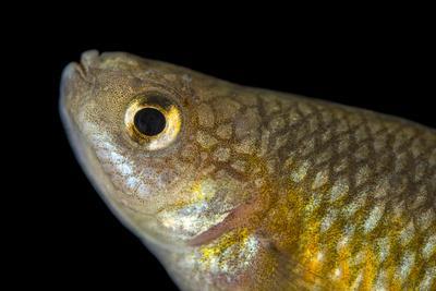 An endangered White River killfish or White River springfish, Crenichthys baileyi