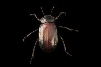 Darkling beetle, Eleodes suturalis
