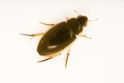 Aquatic beetle, Tropisternus lateralis