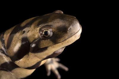 Sonoran tiger salamander, Ambystoma tigrinum stebbinsi