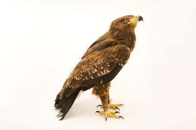 A lesser spotted eagle, Aquila pomarina