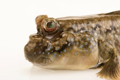 Atlantic mudskipper, Periophthalmus barbarus, at the Aquarium of the Pacific.