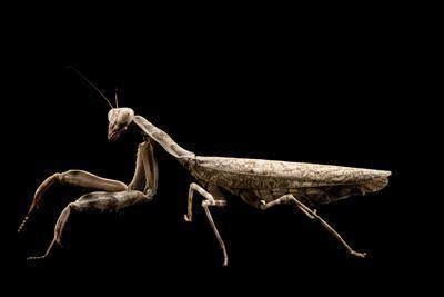 Indonesian double shield mantis, Pnigomantis medioconstricta, at the Budapest Zoo.