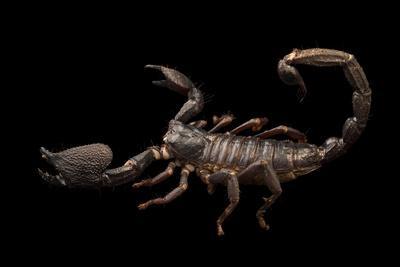 Asian forest scorpion, Heterometrus swammerdami, at the Exmoor Zoo.