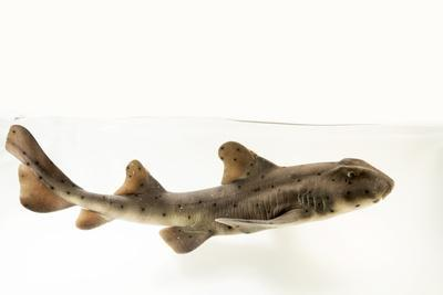 Horned shark, Heterodontus francisci