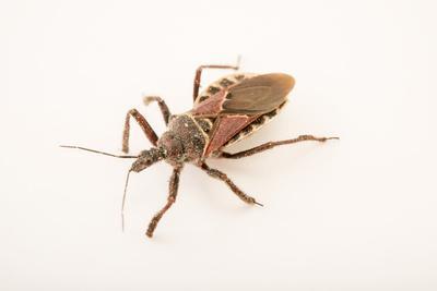 Bee assassin, Apiomerus spissipes