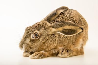 Iberian hare, Lepus granatensis granatensis