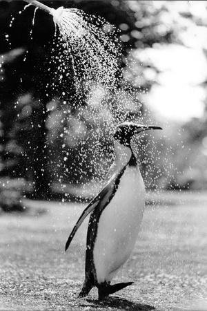 King Penguin Takes a Shower