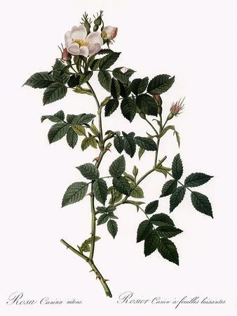 Shiny-Leaved Dog Rose