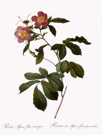 Variegated Alpine Rose