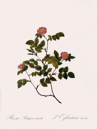 Wild Rose of the Woods