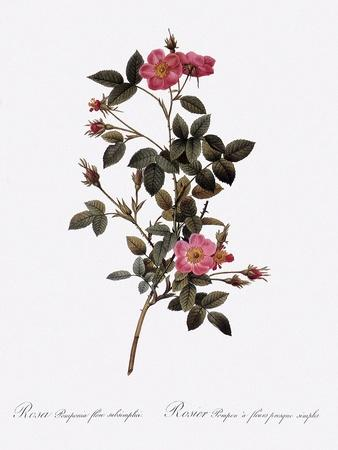 Single Pompon Rose