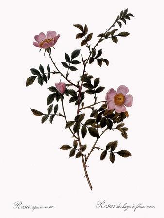 Pink Hedge Rose