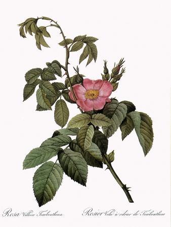 Turpentine Rose