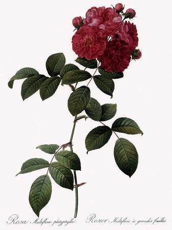 Big-Leaved Multiflora