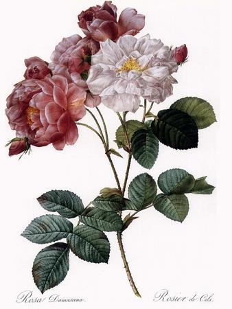 Cels's Rose