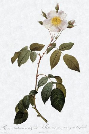 Big-Leaved Climbing Rose, Rosa Sempervirens Latifolia