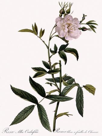 Hemp-Leaved White Rose