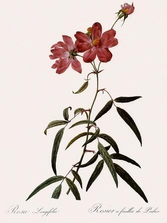 Peach-Leafed Rose