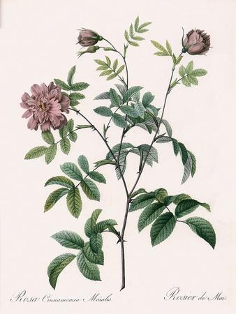 May Rose, Rosa Cinnamomea