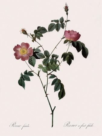 Foul-Fruited Rose
