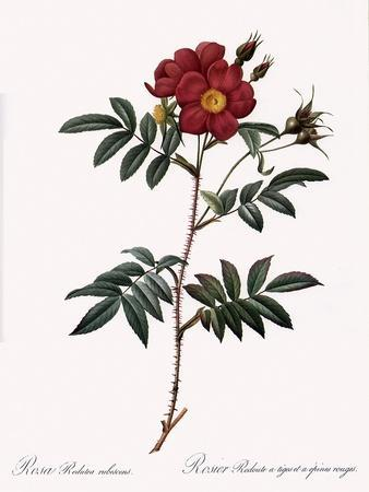 Redoute's Rose with Red Stems and Prickles