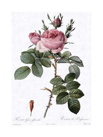 Perfumer's Rose, Rosa Bifera Officinalis
