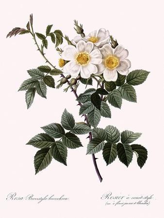 Short-Styled Rose