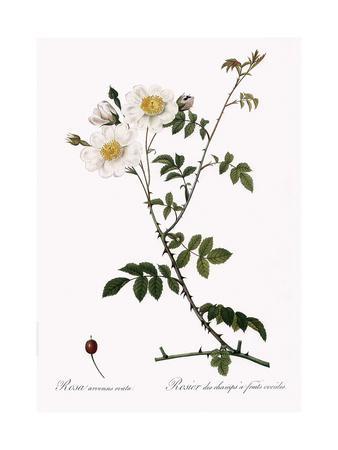 Ovoid-Fruited Field Rose, Rosa Arvensis Ovata