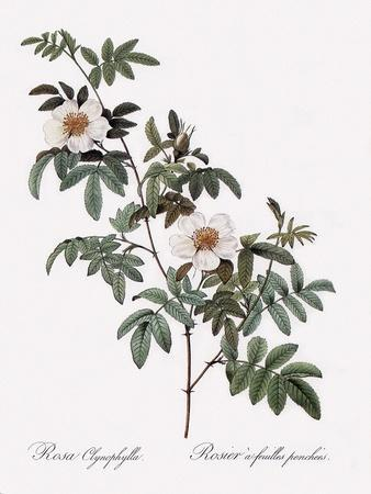 Droopy-Leaved Rose